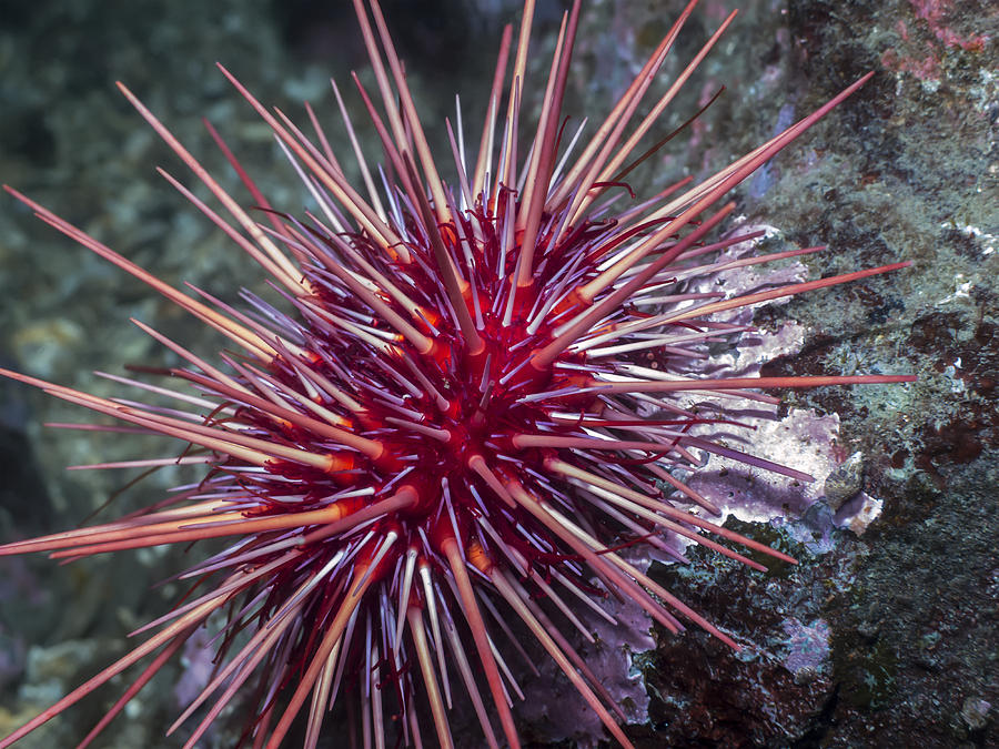 Giant Red Sea Urchin Photograph by Derek Holzapfel