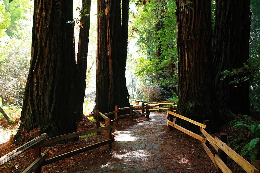 Usa Photograph - Giant Redwoods by Aidan Moran