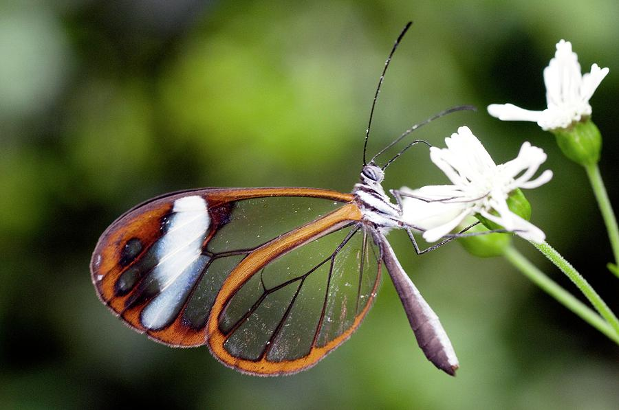 Greta Oto Photograph - Glasswing Butterfly by Sinclair Stammers/science Photo Library