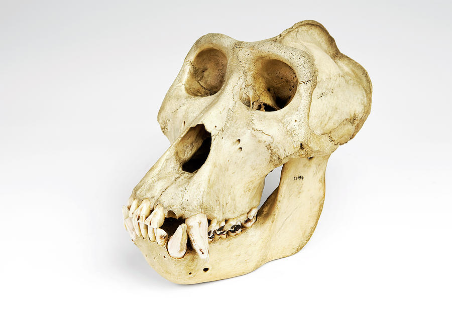 Gorilla Skull Photograph by Ucl, Grant Museum Of Zoology