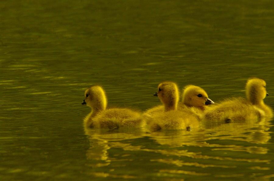 Goslings Photograph - Goslings by Jeff Swan