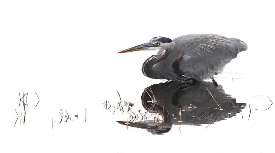 Heron Photograph - Great Blue Heron  by Angie Vogel