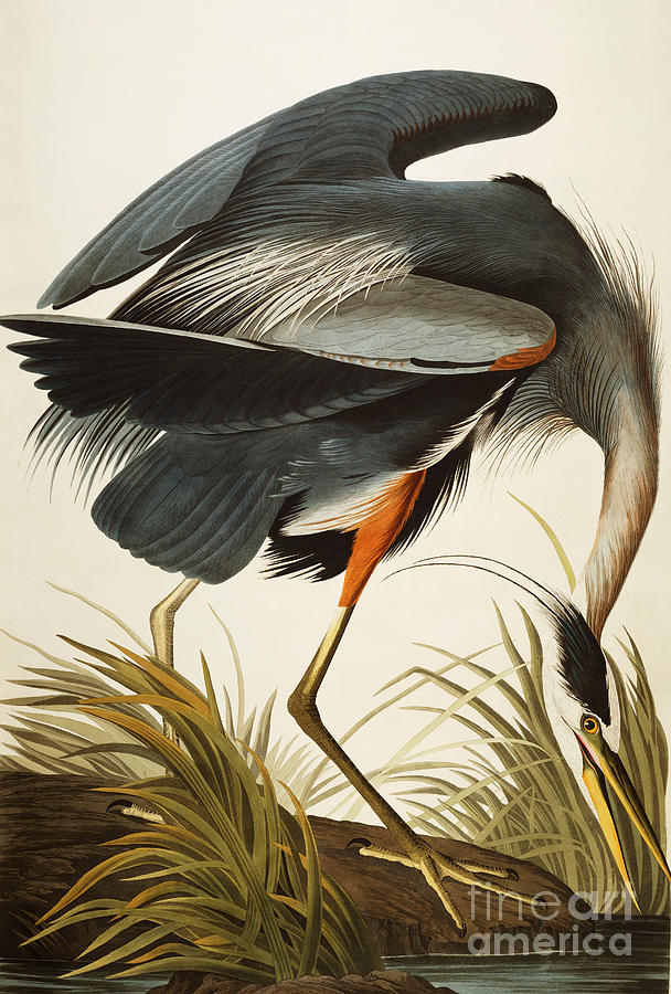 Great Blue Heron Painting - Great Blue Heron by John James Audubon
