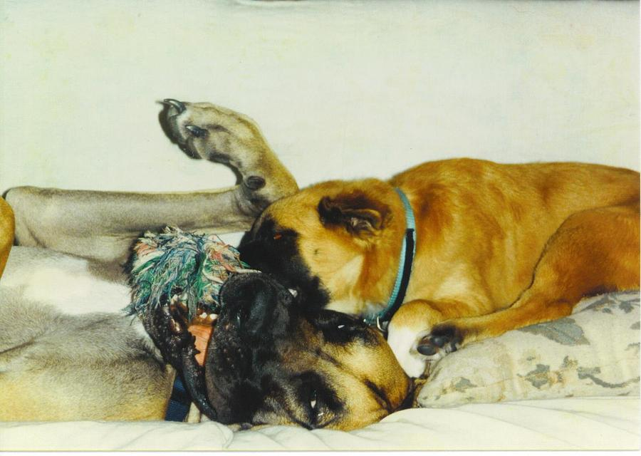 Play Time Photograph - Great Dane And Australian Sheperd by Robert Floyd