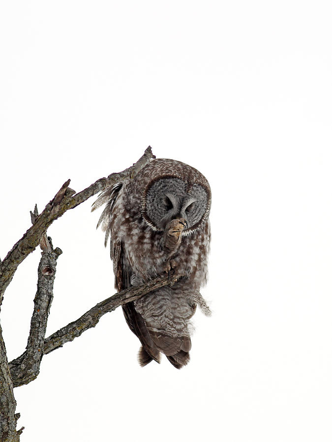 Owl Photograph - Great Grey Owl  by William Cooke