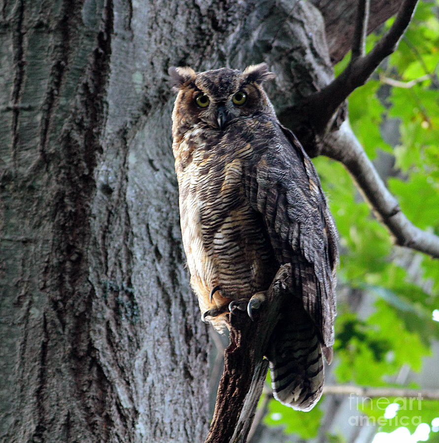 Great Horned Owl Photograph - Great Horned Owl by Linda C Johnson