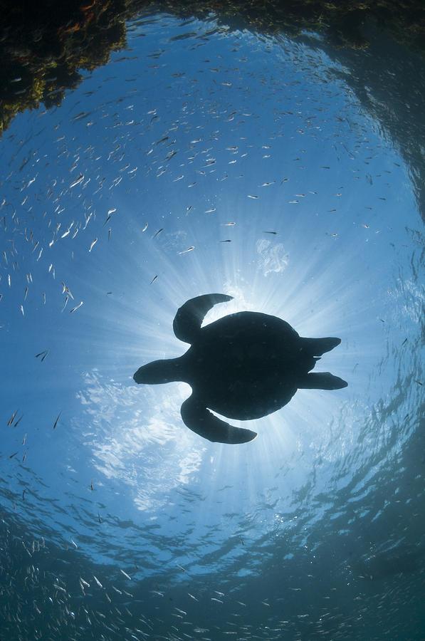 Green Sea Turtle Galapagos Islands Photograph by Tui De Roy