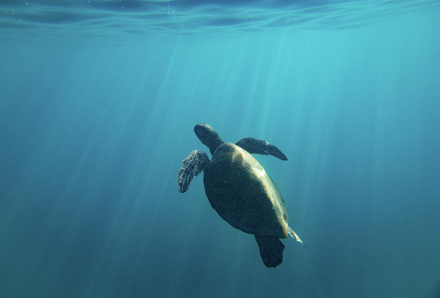 Horizontal Photograph - Green Sea Turtle Swimming 2 by Animal Images