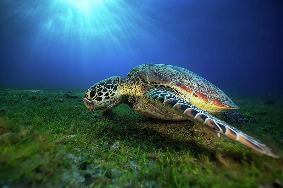 Turtle Photograph - Green Turtle by Barathieu Gabriel