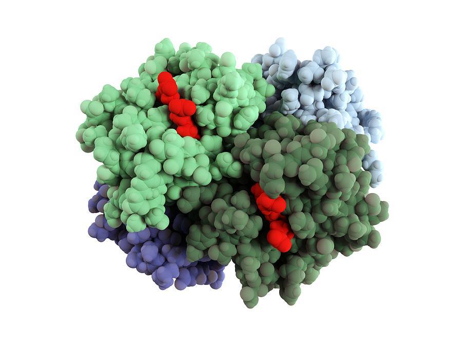 Artwork Photograph - Haemoglobin Molecule by Science Photo Library