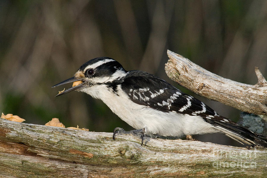 Hairy Woodpecker Photograph - Hairy Woodpecker by Linda Freshwaters Arndt