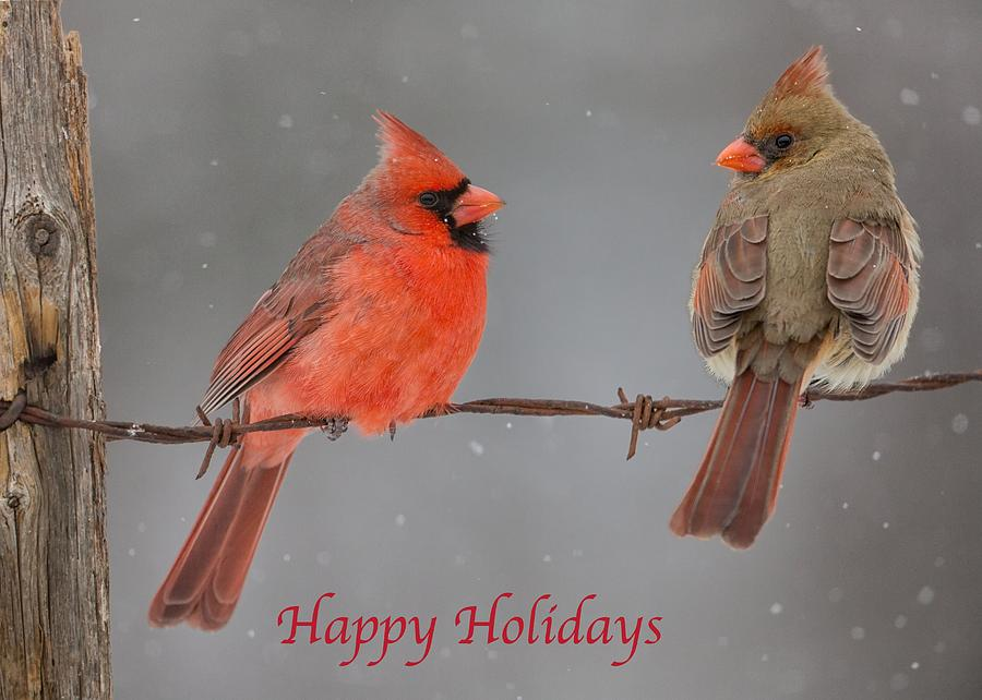 Happy Holidays Cardinals by Dale J Martin