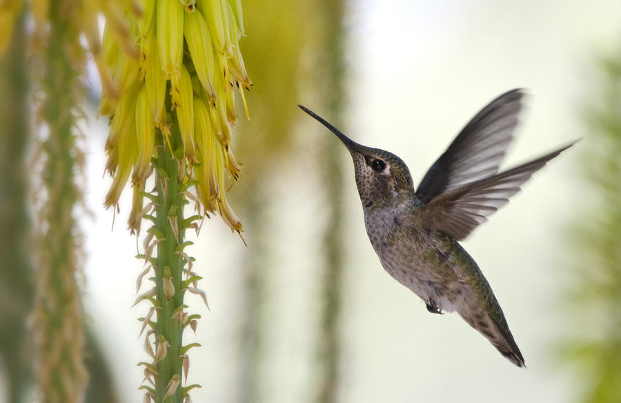 Hummingbird Photograph - Happy Wings  by Saija  Lehtonen