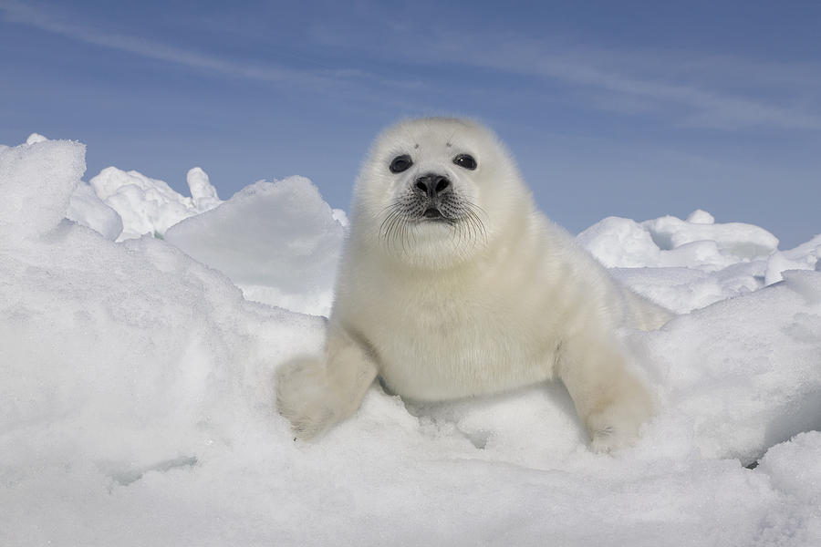 Harp Seal Pup Gulf Of Saint Lawrence Photograph by Ingo Arndt