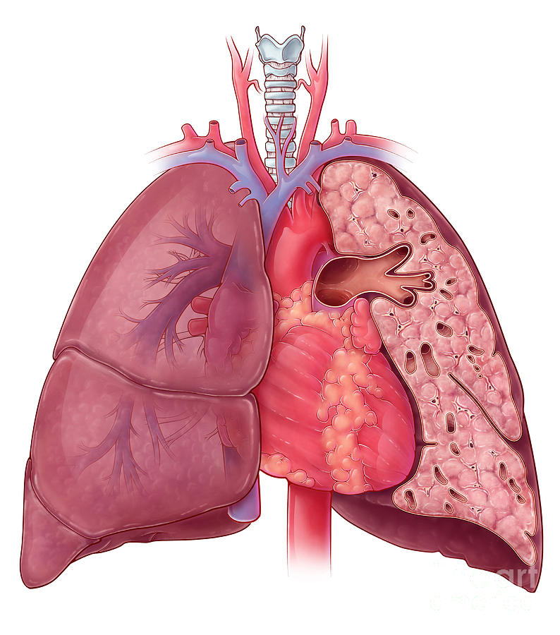 Heart And Lung Anatomy Illustration Photograph By Evan Oto