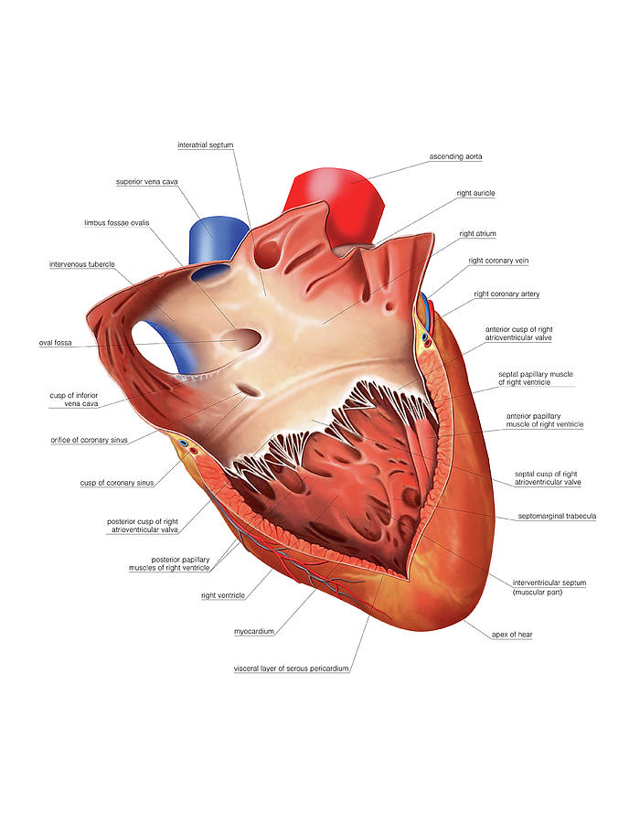 Heart Atrium And Ventricle Photograph by Asklepios Medical Atlas