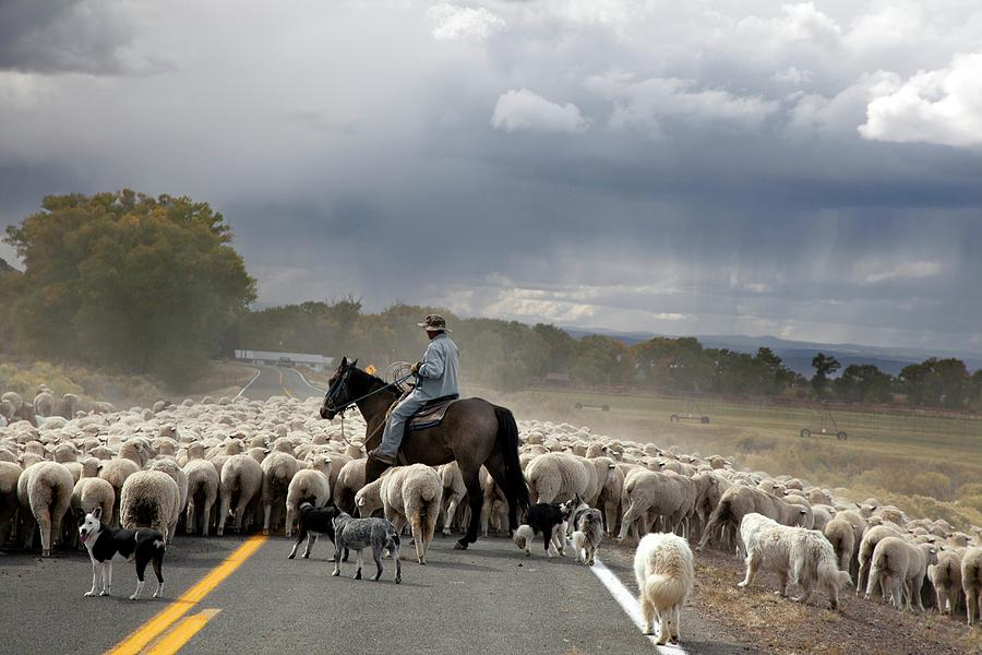 Animal Photograph - Herding Sheep by Jim West