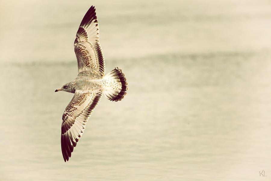 Herring Gull Photograph - Herring Gull In Flight by Karol Livote