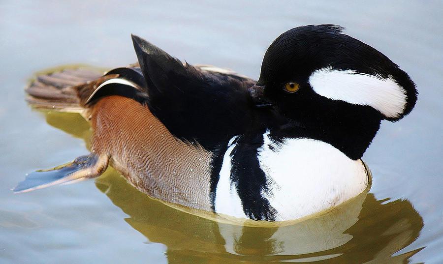 Duck Photograph - Hooded Merganser by Paulette Thomas