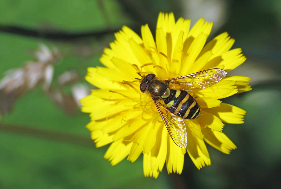 Hoverfly Photograph - Hoverfly On Dandelion by Walter Klockers