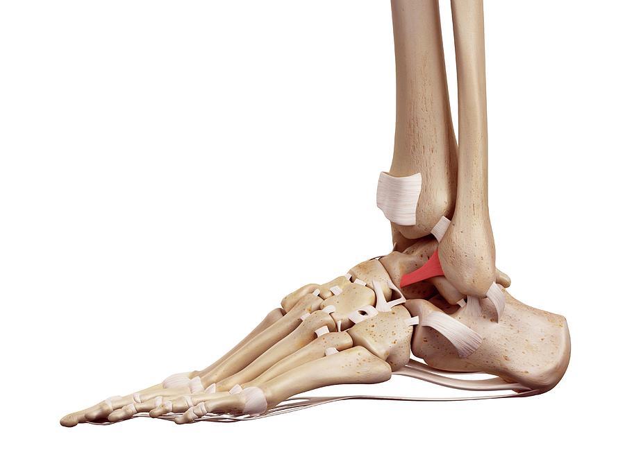 Human Foot Ligaments Photograph By Sebastian Kaulitzkiscience Photo