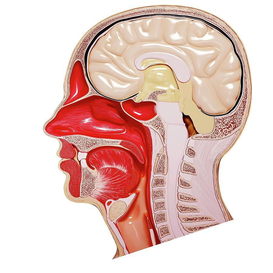 Human Head Anatomy Photograph By Pixologicstudioscience Photo