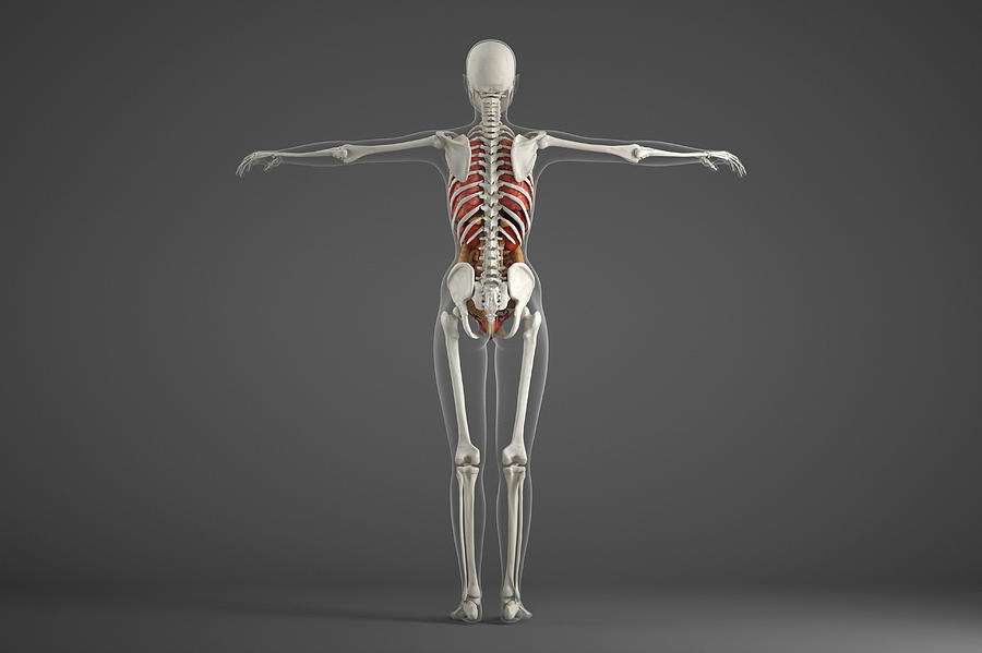 Human Skeletal Structure Photograph By Roger Harrisscience Photo