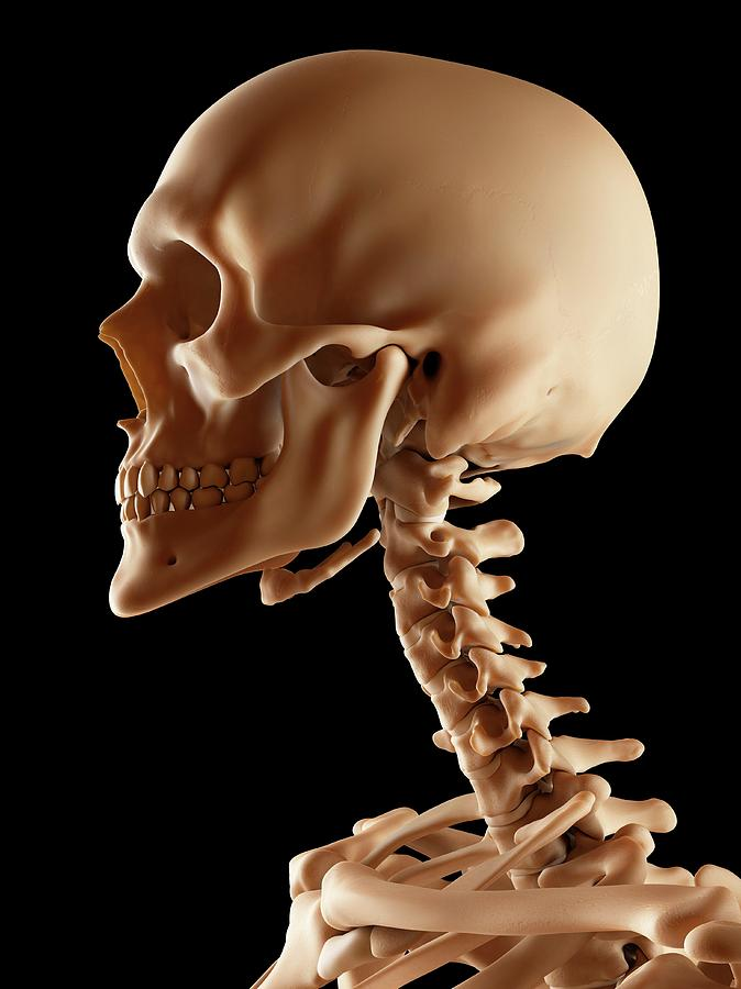 Human Skull And Neck Bones Photograph by Sciepro