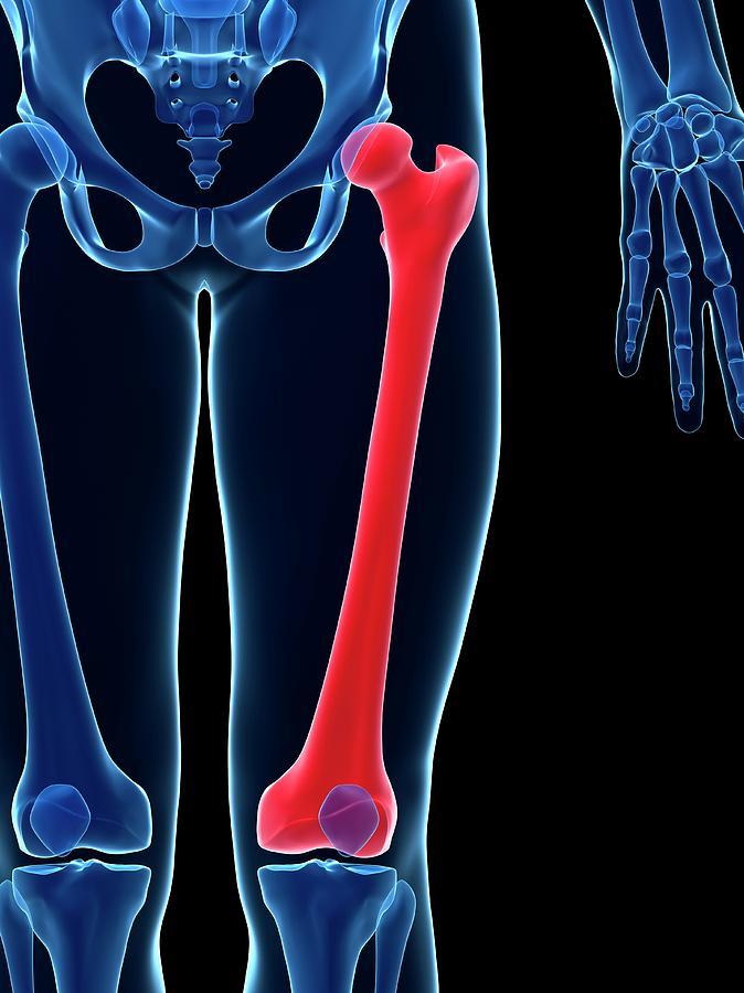 human thigh bone photograph by sebastian kaulitzki, Human Body
