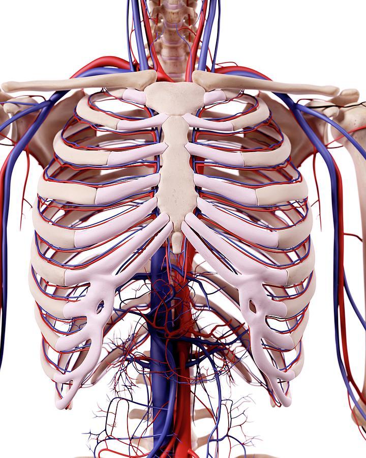 Human Thoracic Anatomy Photograph By Sebastian Kaulitzkiscience