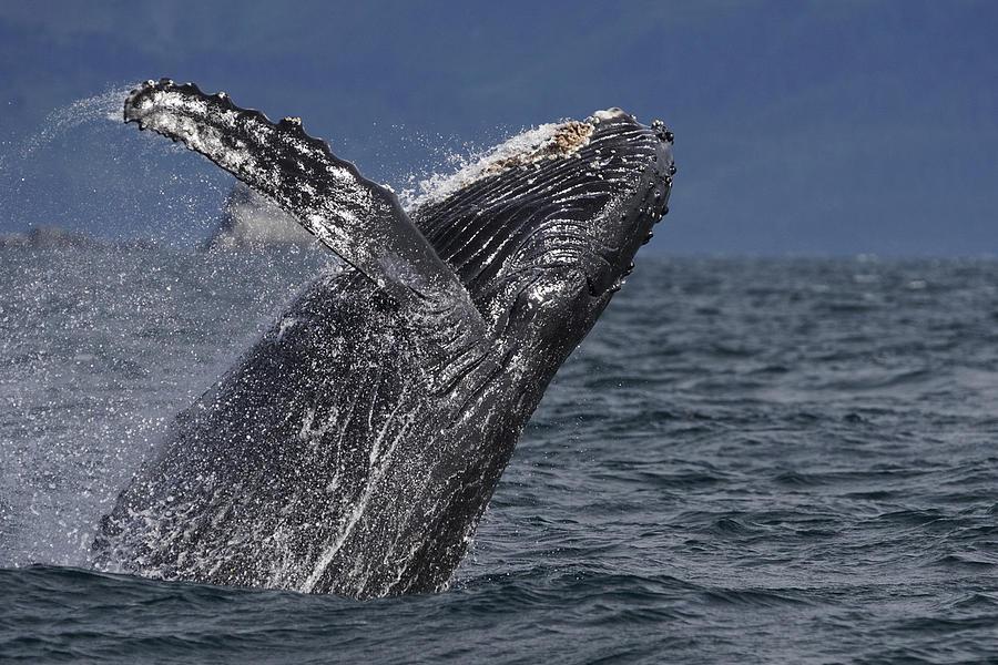 Humpback Whale Breaching Prince William Photograph by Hiroya Minakuchi