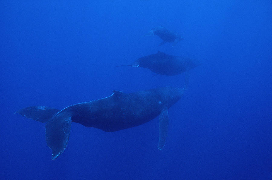 Humpback Whale Cow Calf And Male Escort Photograph by Flip Nicklin