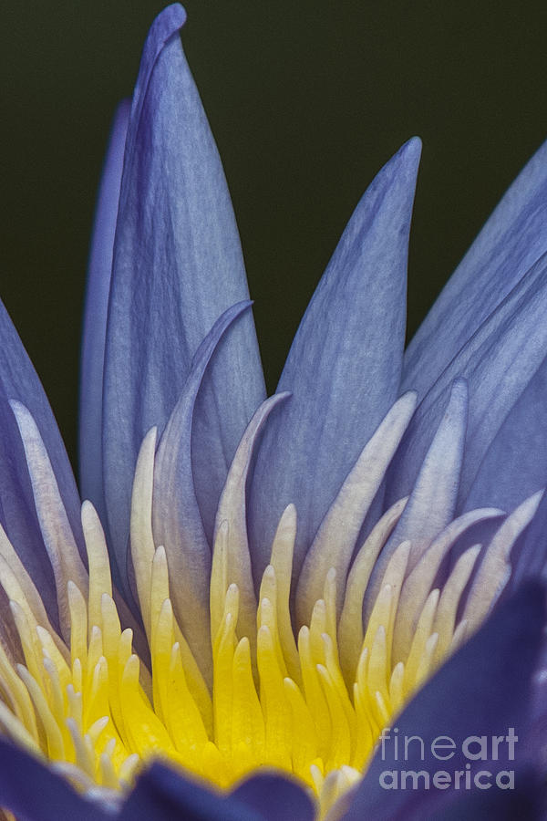 Water Lily Photograph - Icy Blue - Electric Yellow by Lauren Brice