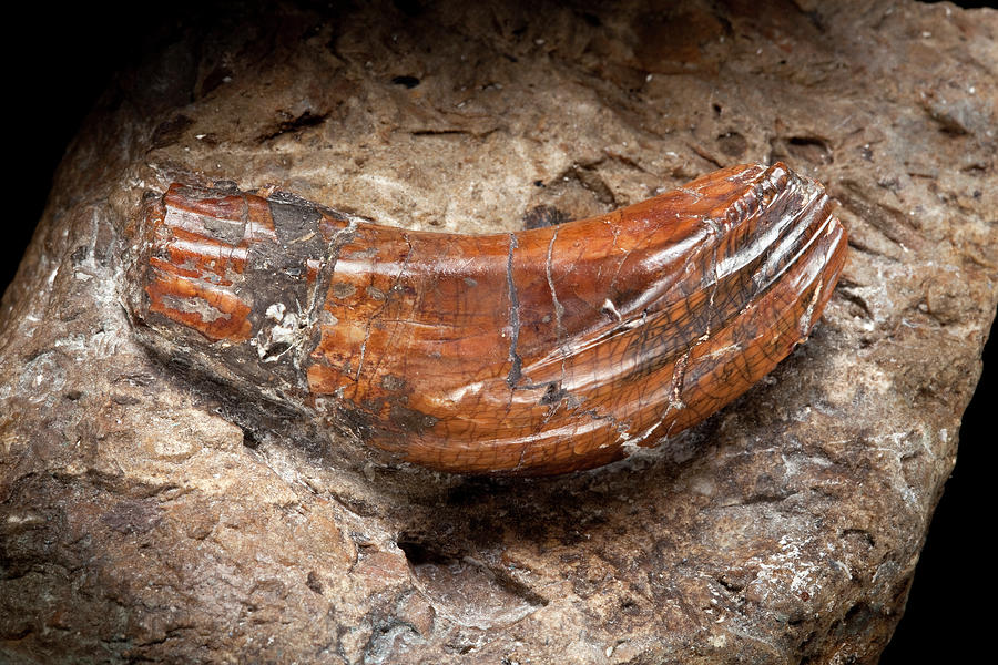 Iguanodon Tooth Photograph by Natural History Museum, London