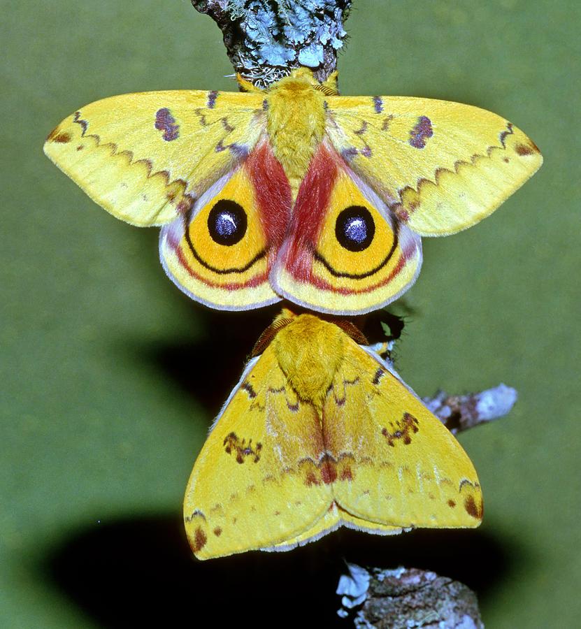 Sưu tập Bộ cánh vẩy  - Page 18 2-io-moth-automeris-io-adult-males-millard-h-sharp
