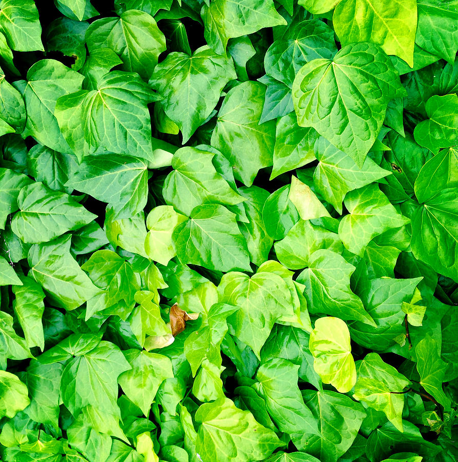 Lush Photograph - Ivy by Les Cunliffe