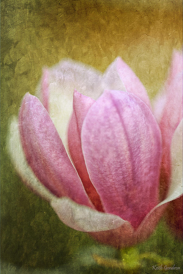 Japanese Photograph - Japanese Magnolia by Keith Gondron