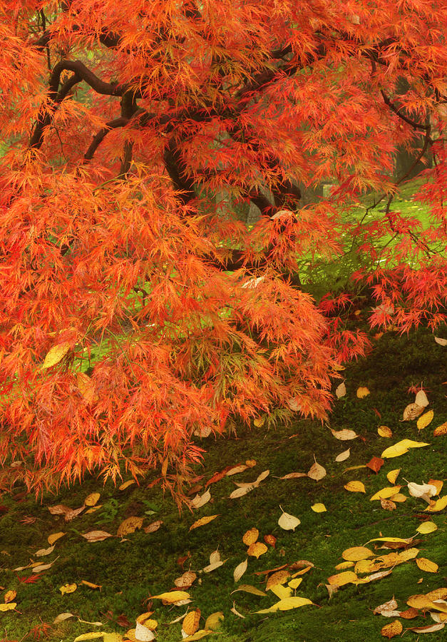 Japanese Maple In Fall Color Photograph By William Sutton