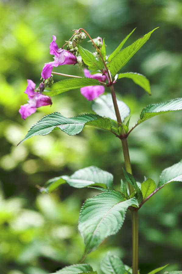 Jewelweed Photograph - Jewelweed (impatiens Glandulifera) by Gustoimages/science Photo Library