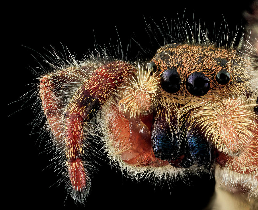 Identification Photograph - Jumping Spider by Us Geological Survey