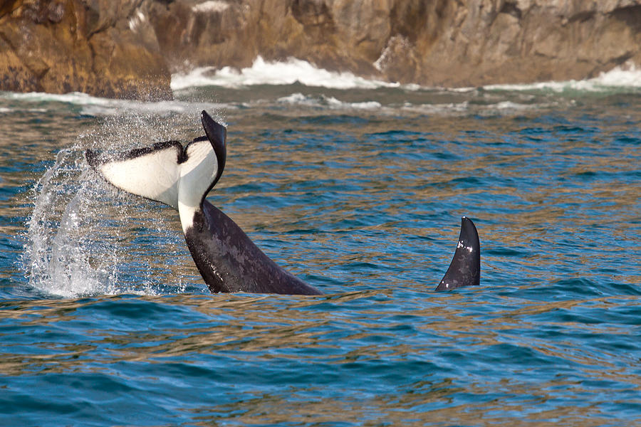 Killer Whale Photograph by Richard Jack-James