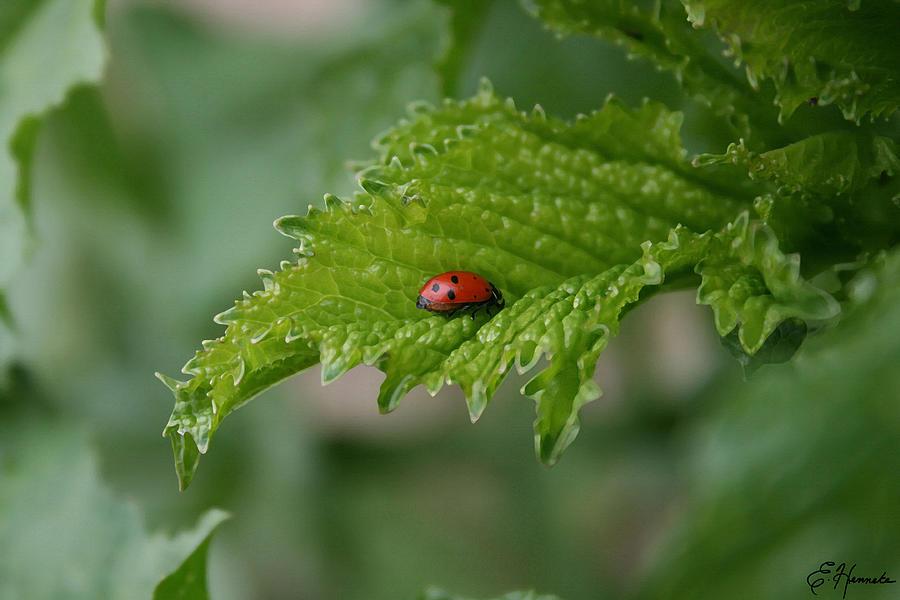 Ladybug Painting - Ladybug by Ellen Henneke