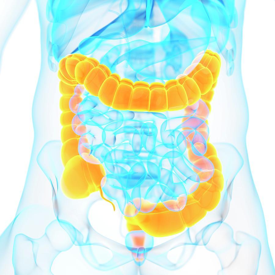 Artwork Photograph - Large Intestine by Sebastian Kaulitzki