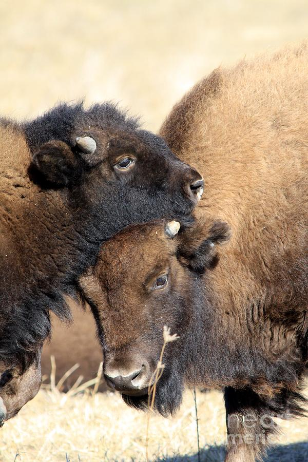 Buffalo Photograph - Lean On Me by Rick Rauzi