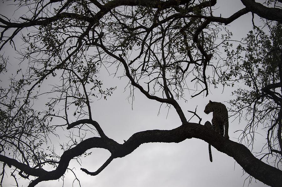 Leopard Sabi-sands Game Reserve South Photograph by Sergey Gorshkov