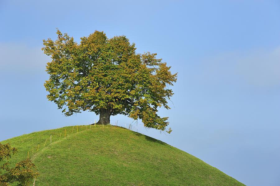 Lime Tree Zug Switzerland Photograph by Thomas Marent