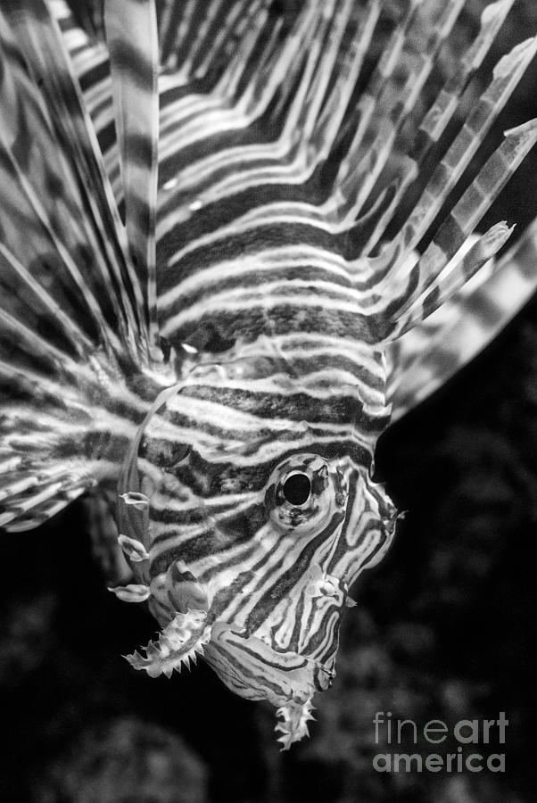 Lionfish Photograph - Lionfish by Jamie Pham
