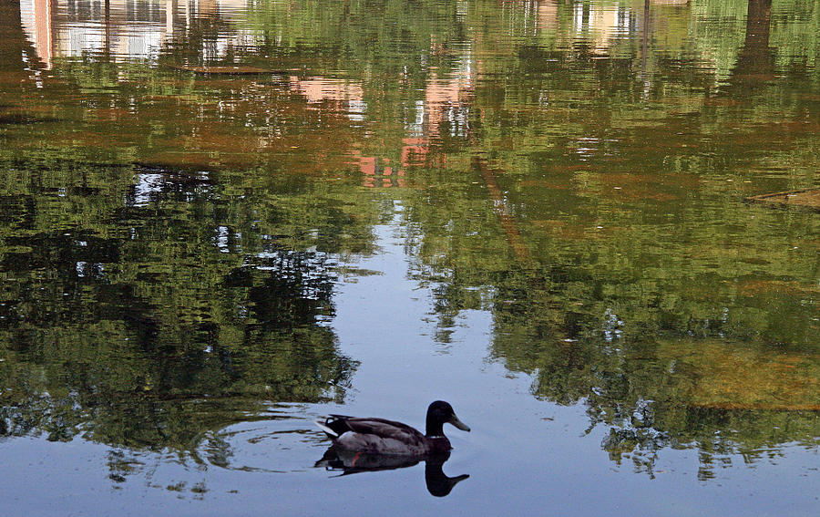 Duck Photograph - Living In Reflections by Cora Wandel