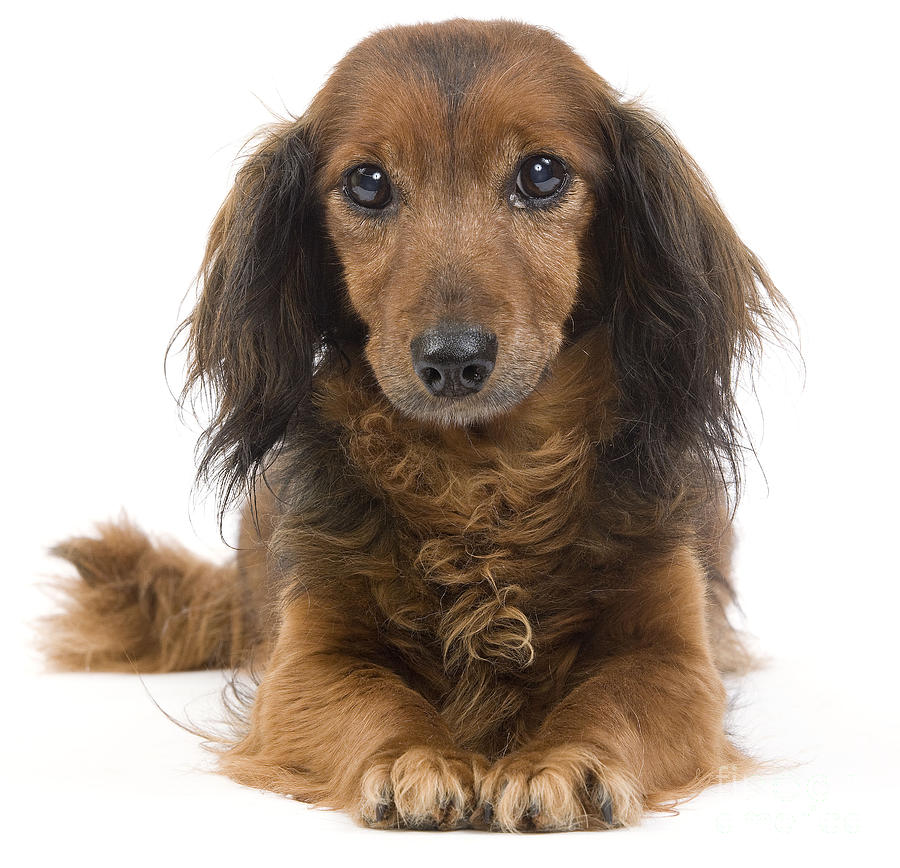 Long-haired Dachshund Photograph - Long-haired Dachshund by Jean-Michel Labat