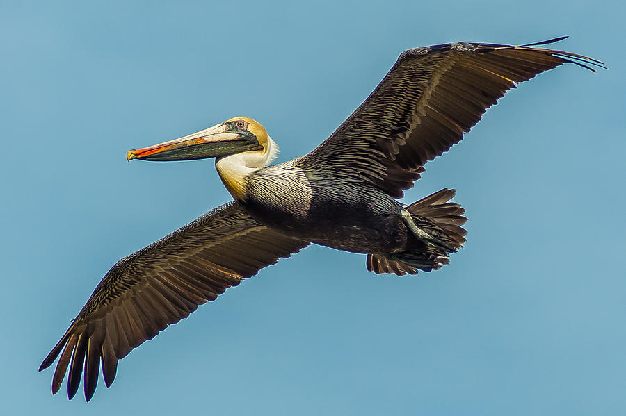 Pelican Photograph - Looking At You by Charles Moore